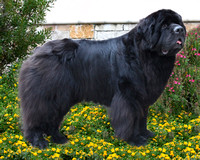Donna Zink Newfies