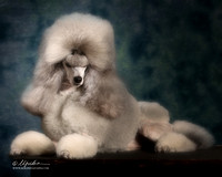 Tiffany Jones Roberts Miniature Poodle Amarillo Sept 2013